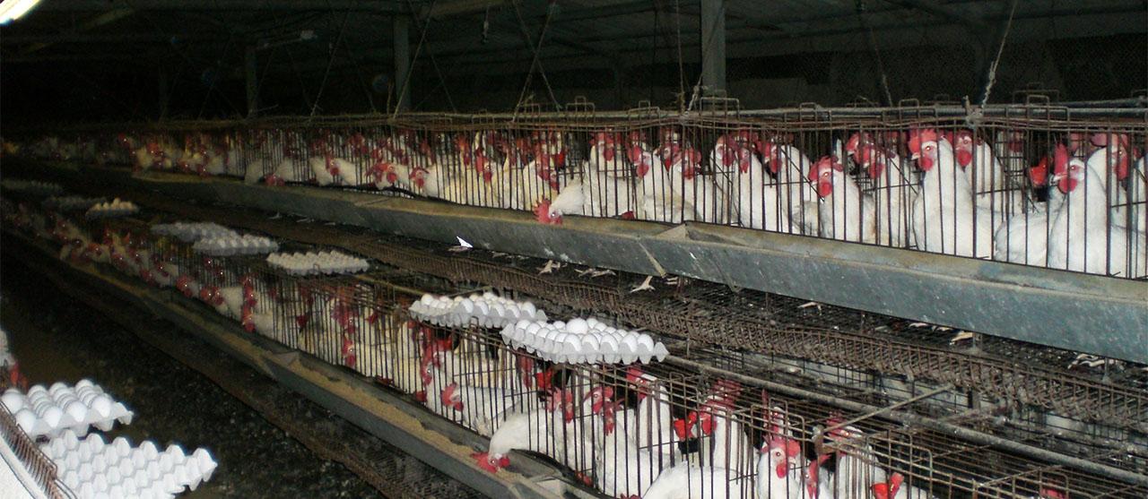 California chicken egg import law